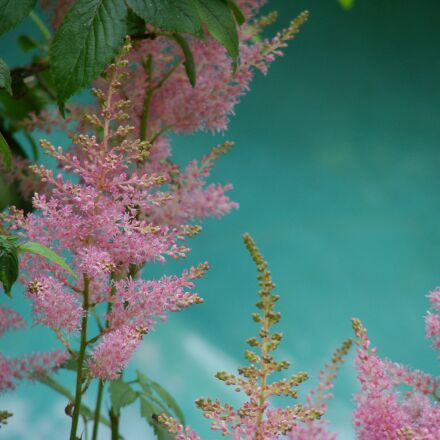 plant, flowers, pink, Sony DSC-H5