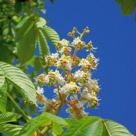 chestnut, bloom, tree, Nikon COOLPIX L330