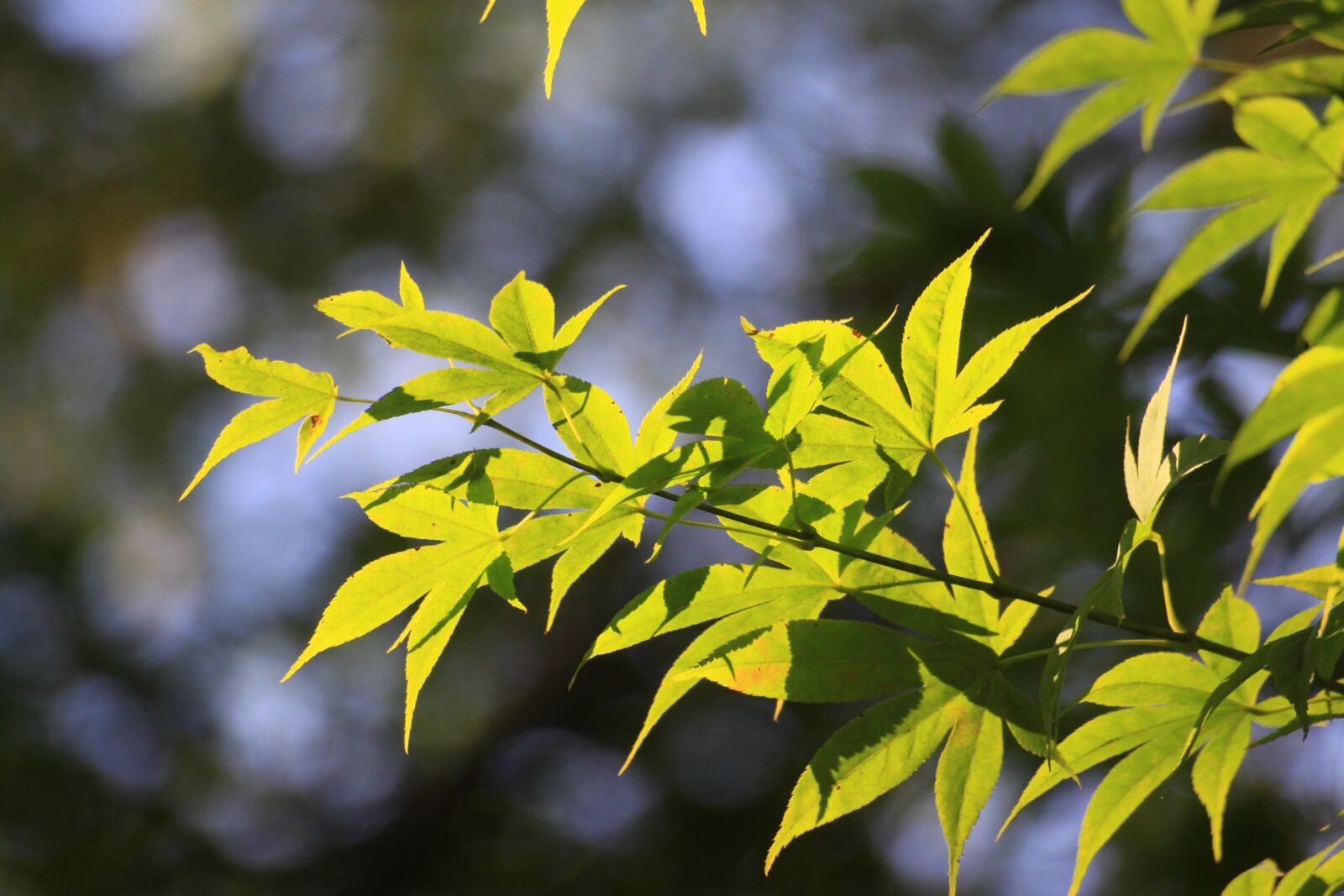 """Canon EOS 50D sample photo. """"Maple leaf, wipes, leaf"""" photography"""