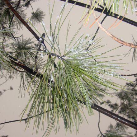 snow, pine, north-east, Sony DSC-T700