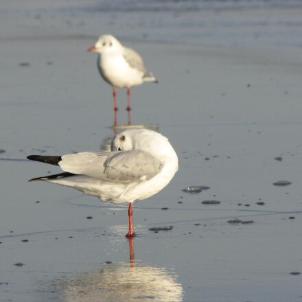 seagull, mirroring, water, Canon POWERSHOT SX1 IS