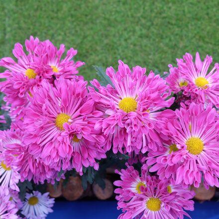 flower, nature, plant, Fujifilm X-A1