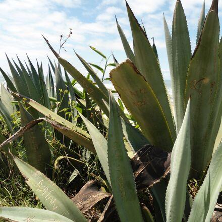 agave, plant, mar, Sony DSC-W510