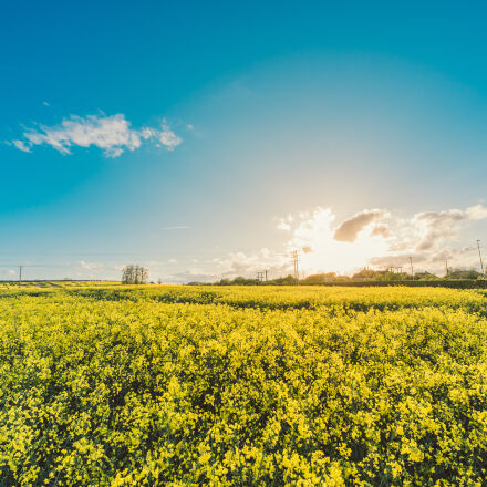 field, flowers, yellow, agriculture, Nikon D800