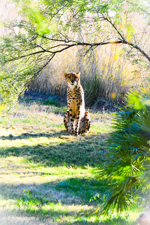 """Nikon D5200 sample photo. """"Animal, animals, big, cat"""" photography"""