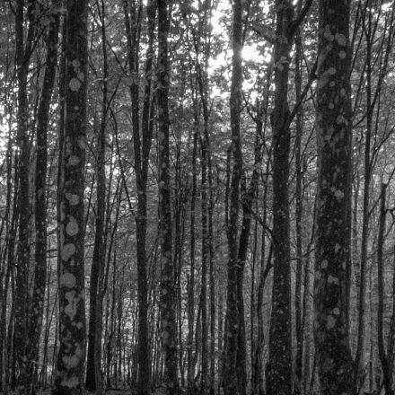 forest, hornbeam, tree, Fujifilm X-T1