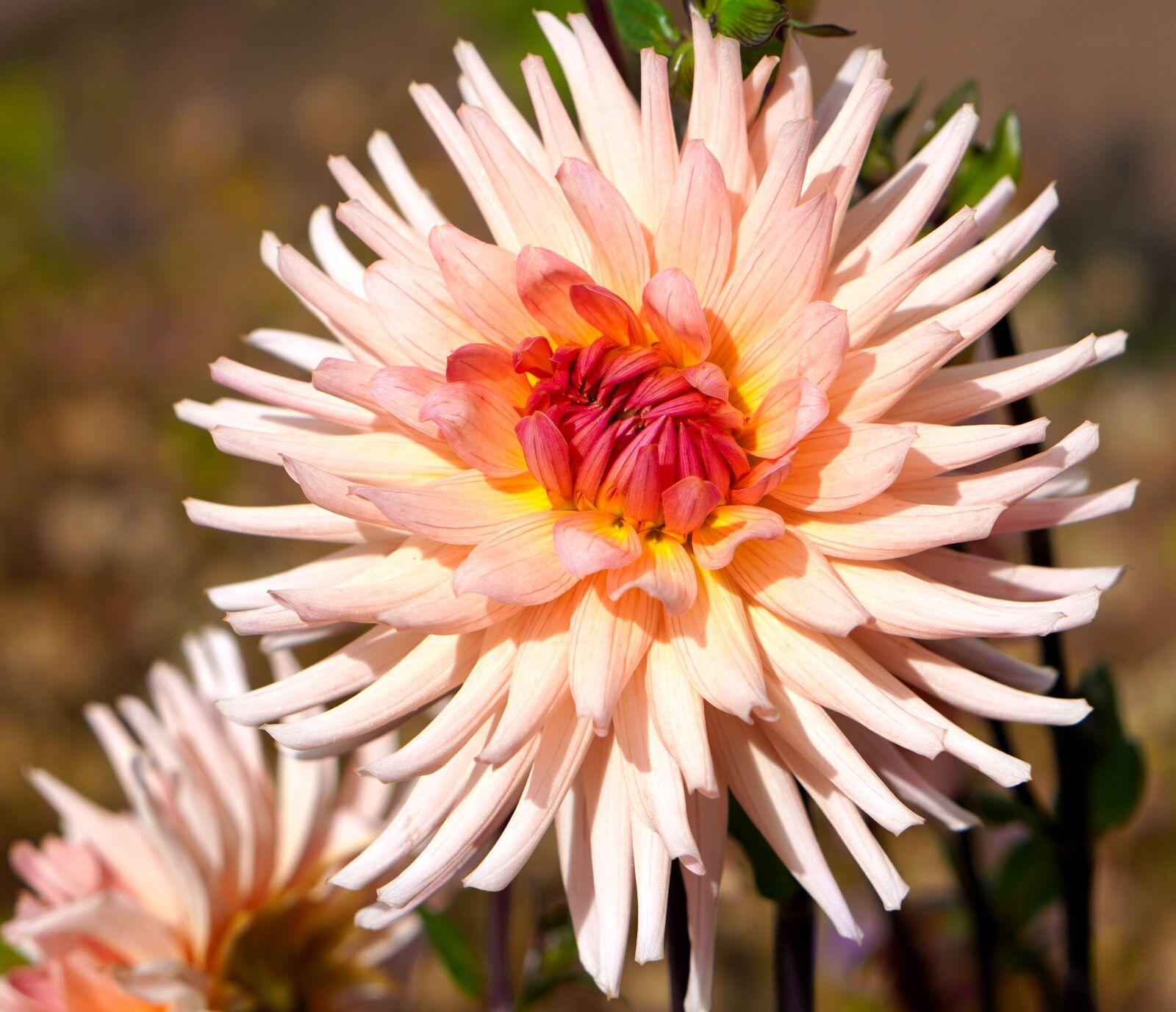 "Sony a6400 sample photo. ""Flower, dahlia, blossom"" photography"