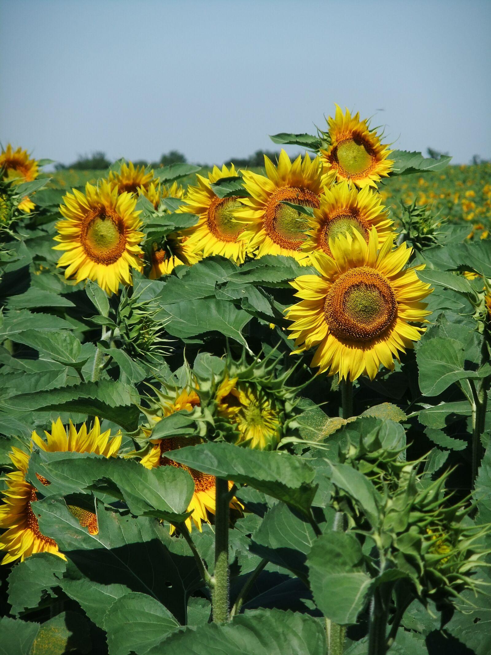 "FujiFilm FinePix JZ500 (FinePix JZ505) sample photo. ""Nature, sunflower, yellow"" photography"