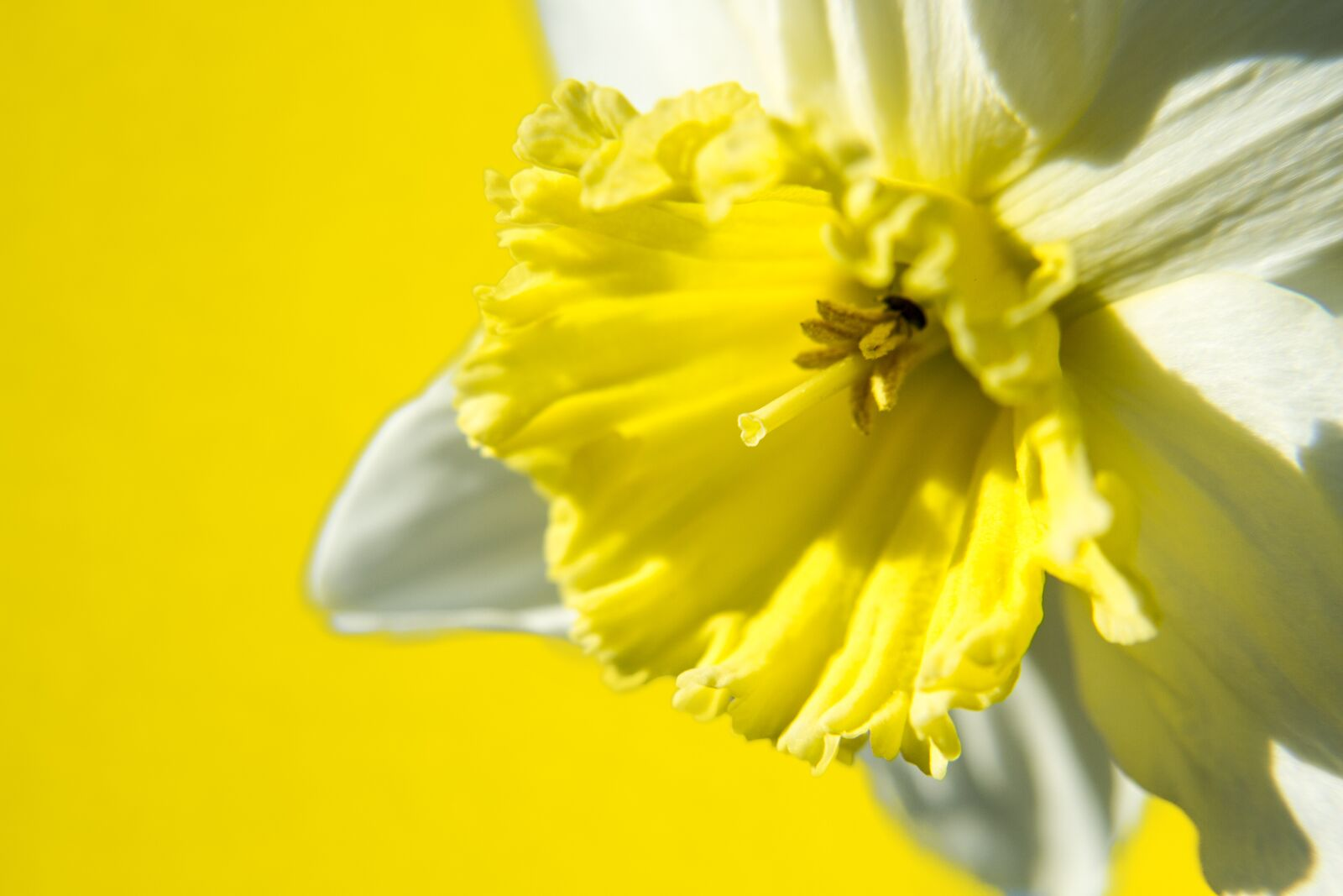 """Canon EOS 7D sample photo. """"Daffodil, flower, narcissus"""" photography"""
