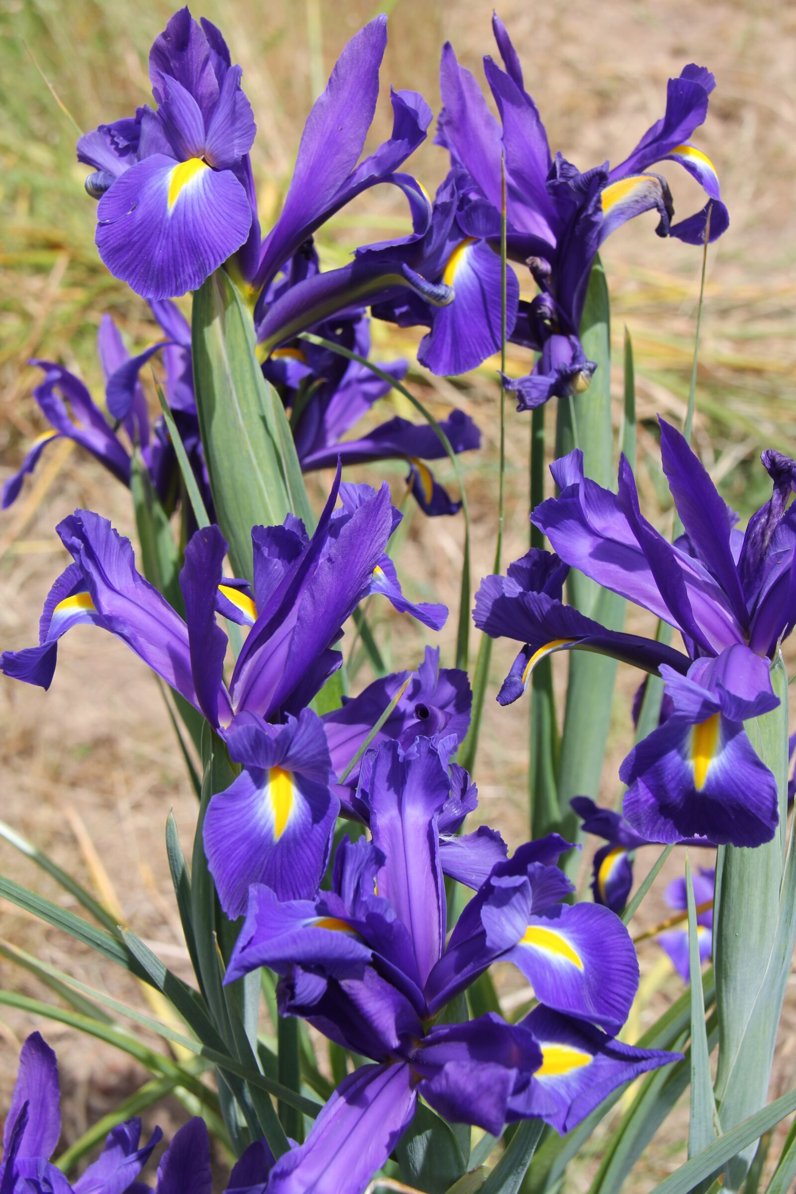 "Canon EOS 60D sample photo. ""Flowers, iris, purple"" photography"