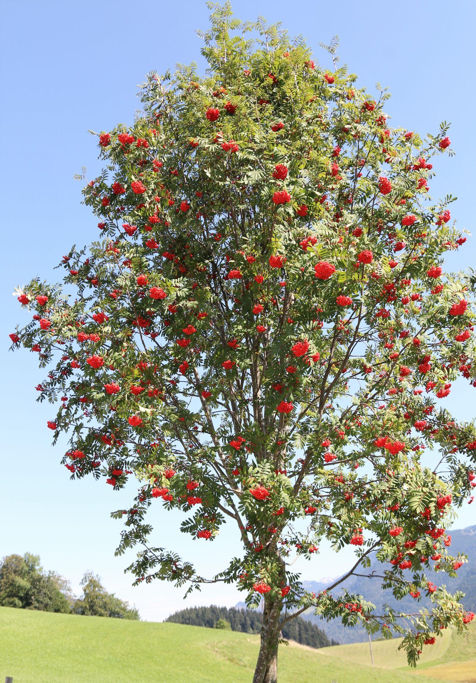 """Canon EOS 70D sample photo. """"Rowan, mountain ash, red"""" photography"""