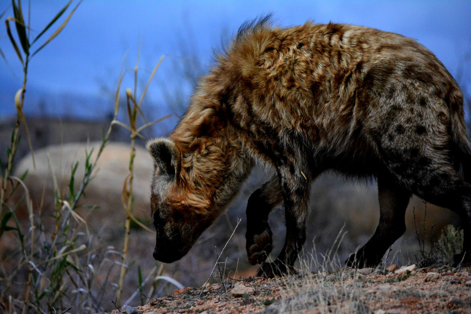 "Nikon D5200 sample photo. ""Africa, africananimals, hyena, hyenas"" photography"