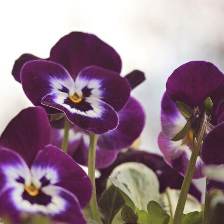 violet, flowers, spring, Canon EOS 600D