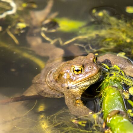common toad, toad, amphibians, Olympus E-5