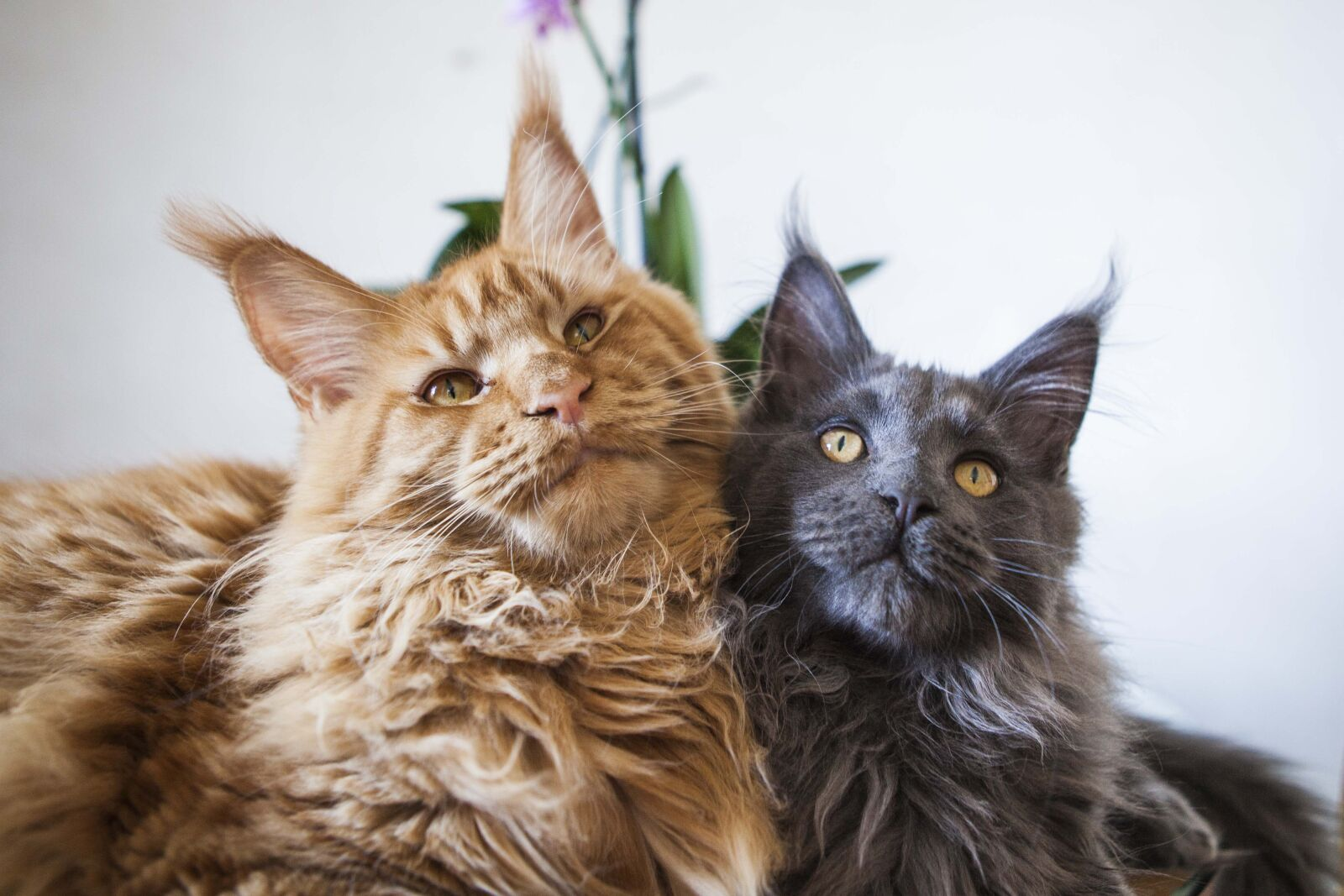 cats, maine, coon