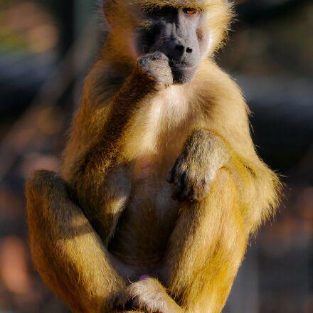 animal, monkey, barbary ape, Panasonic DMC-G70