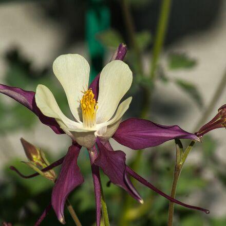flower, columbine, petals, Pentax K10D