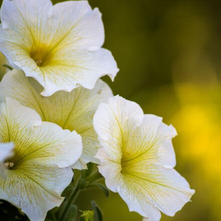 flowers, white, Nikon D610