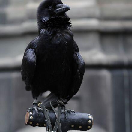 raven, bird, raven bird, Canon EOS 600D
