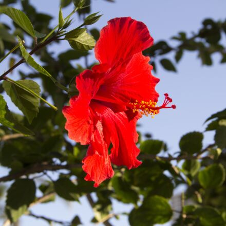 flower, red, hibiscus, Canon EOS REBEL T3I