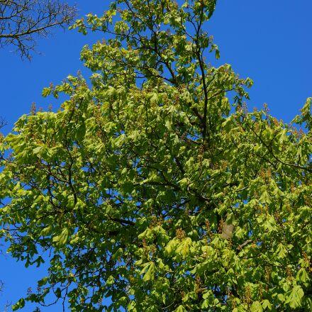 chestnut, spring, tree, Sony SLT-A99V