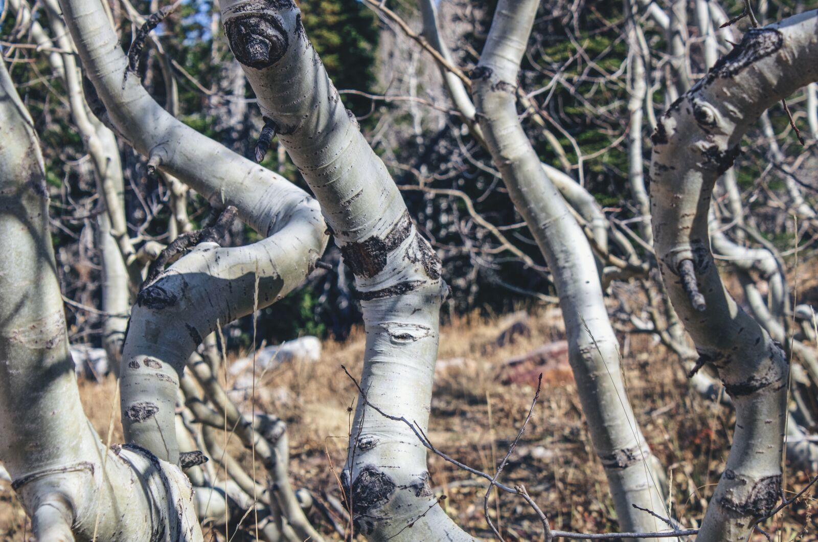 """Canon EOS 600D (Rebel EOS T3i / EOS Kiss X5) sample photo. """"Aspens, twisted, gnarled"""" photography"""
