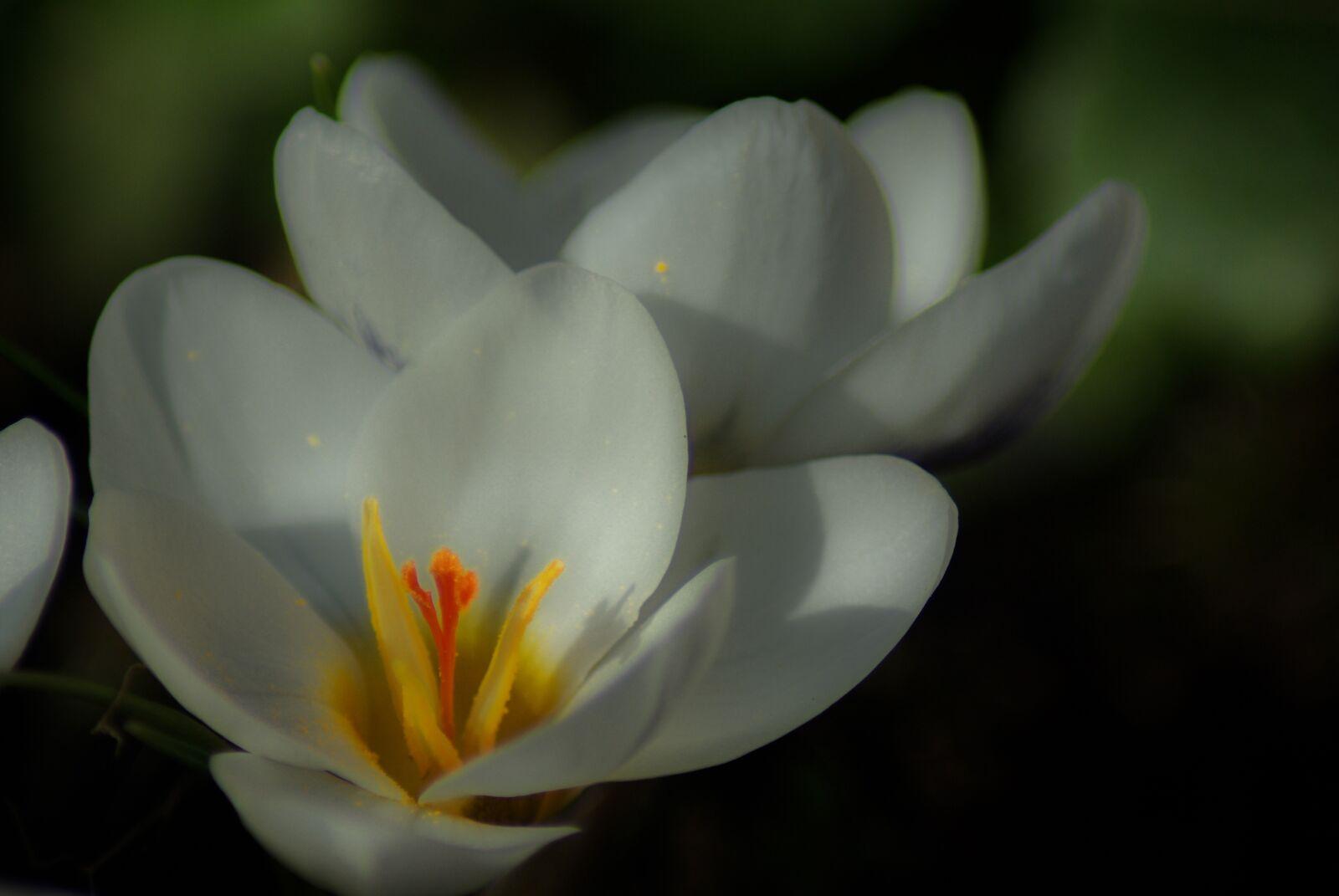 "Pentax K10D sample photo. ""Crocus, plants, flower"" photography"
