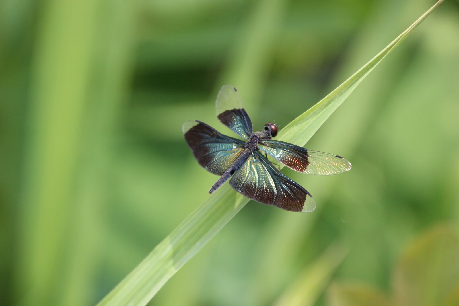"""Canon EOS 600D (Rebel EOS T3i / EOS Kiss X5) sample photo. """"Grass, insect, dragonfly"""" photography"""