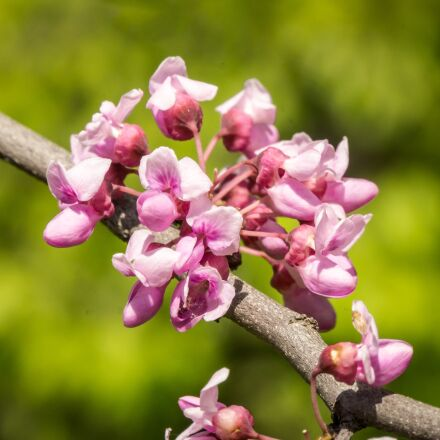 eastern red buds, spring, Sony ILCE-6000