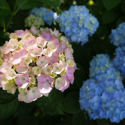 hydrangea, kumamoto, flowers, Panasonic DMC-GX7