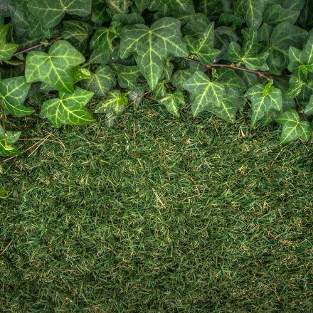 ivy, plants, grass, Sony NEX-5N