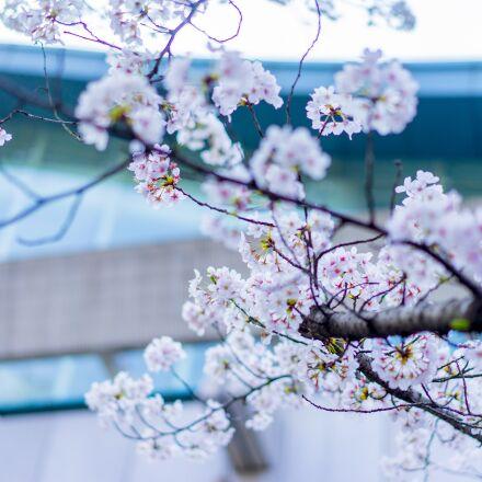 flower, branch, season, Sony ILCE-7