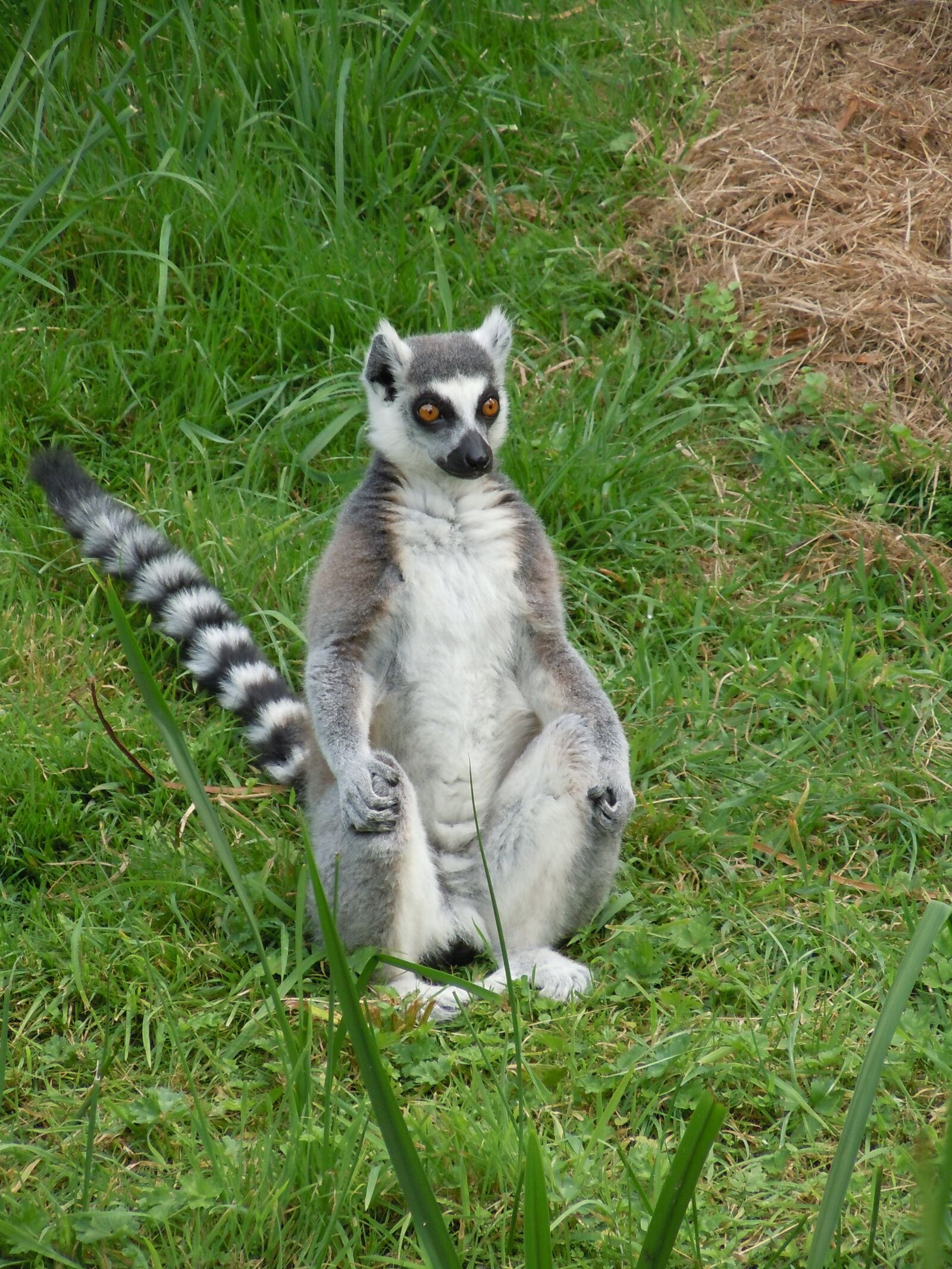 "Nikon Coolpix S8000 sample photo. ""Lemurs, zoo, mammal"" photography"