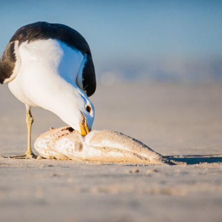 kelp gull feeding on, Canon EOS-1D MARK II N