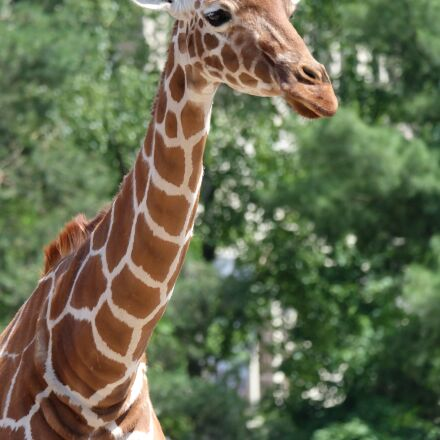 giraffe, animal, wildlife, Fujifilm X-A1