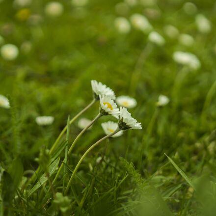 daisy, meadow, green, Sony ILCE-6300