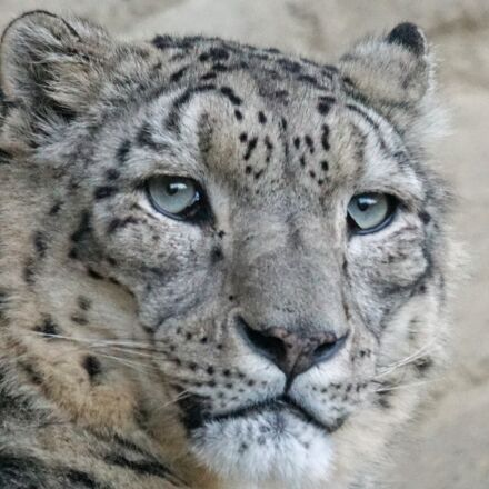 snow leopard, irbis, m, Sony ILCA-77M2