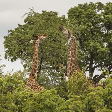 giraffe, wildlife, wild, Canon EOS 5D MARK II