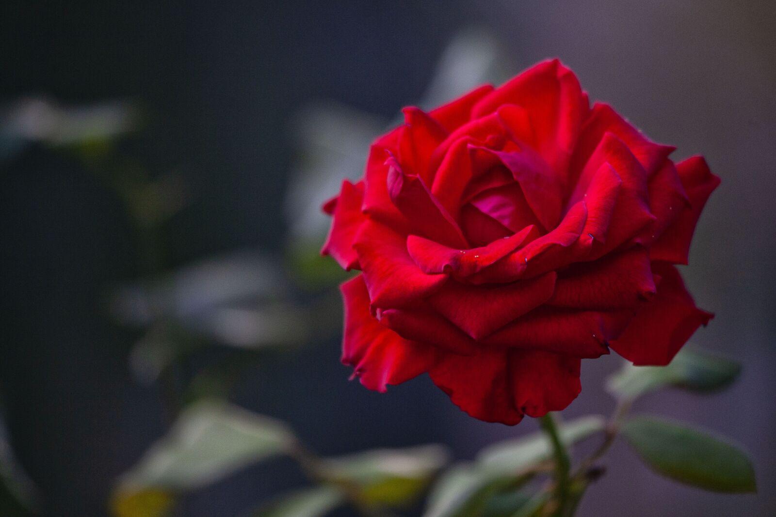 rosa, flower, nature