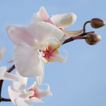 pink, and, white, orchids, Nikon D7000