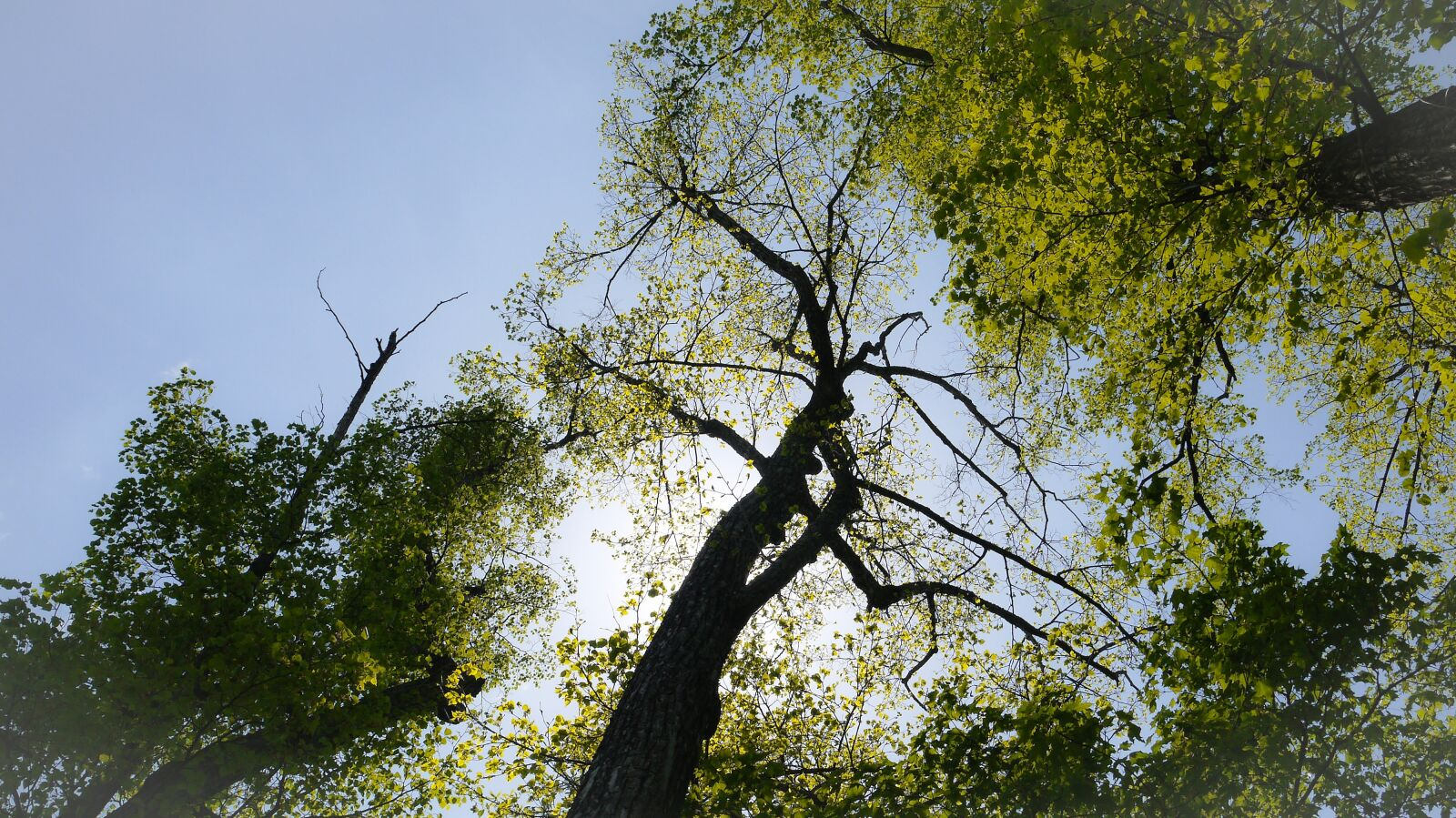 big trees, sun, blue