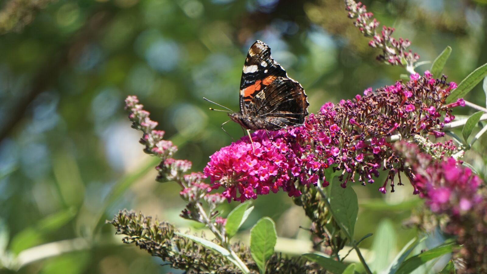 """Sony a6000 sample photo. """"Butterfly, insect, flower"""" photography"""