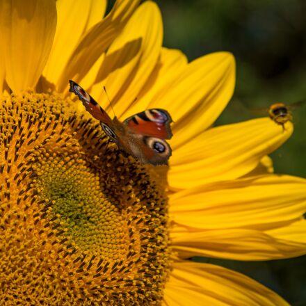 sunflower, summer, yellow, Sony ILCE-7S