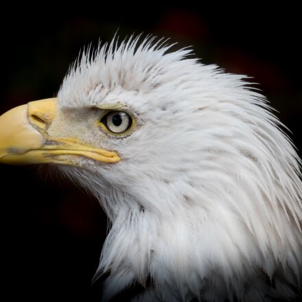 portrait, white tailed eagle, Panasonic DMC-FZ300