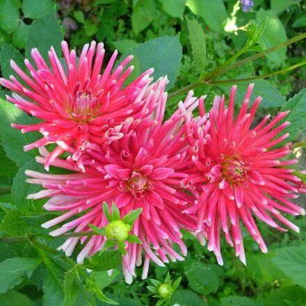 pink flowers, dahlia rose, Fujifilm FinePix S5000