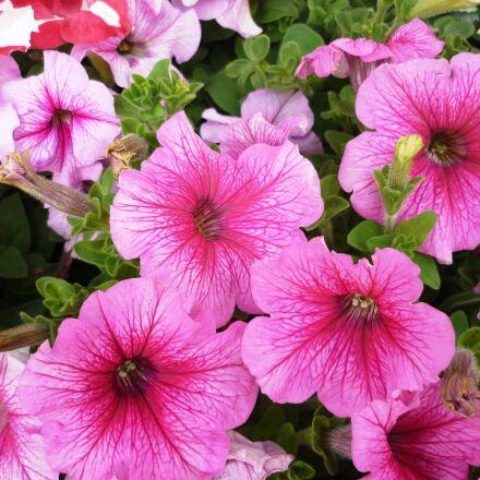 petunias, pink, flower, Panasonic DMC-FS3