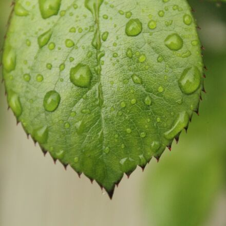 leaf, green, drops, Canon EOS 1200D