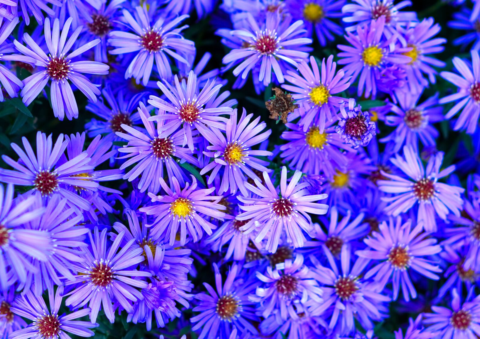 """Sony a6400 sample photo. """"Flowers, asters, garden"""" photography"""