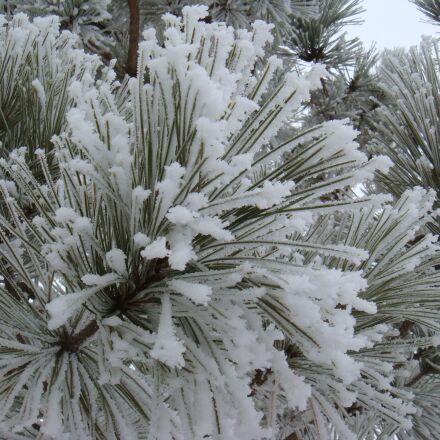 frost, snow, pine needles, Sony DSC-T70