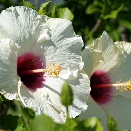 hibiscus, blossom, bloom, Sony ILCE-7